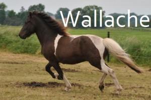 Wallache